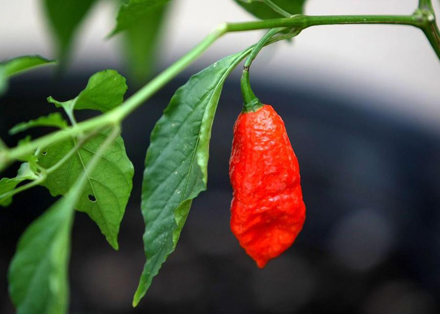 Огненный перец чили: рейтинг остроты
